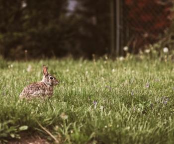 rabbit whole